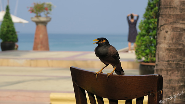 プーケットにいた鳥