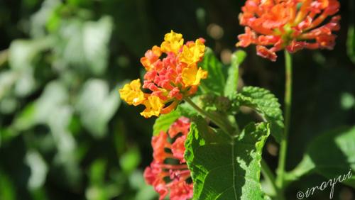 いろ結い田原のラスベガス旅行記の花の写真